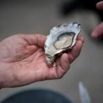 oester delen